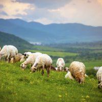 God's Little Lambs
